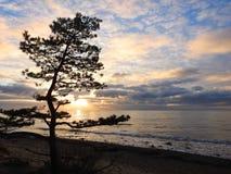 Sörja trädet nära det baltiska havet i afton, Litauen royaltyfria foton