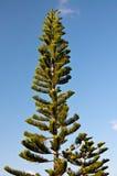 Sörja trädet och blå himmel Royaltyfria Bilder