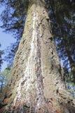 Sörja trädet och underminera Arkivbilder