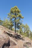 Sörja trädet på en berglutning Arkivfoto