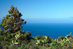 Sörja trädet på havskusten Arkivfoton