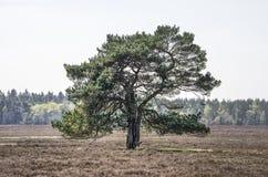 Sörja trädet på heden royaltyfria bilder