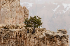 Sörja trädet på olycksbringare i snöstormen, Bryce Canyon, Utah Fotografering för Bildbyråer