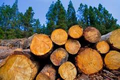 Sörja trädet som avverkas för timmerbransch i Tenerife Arkivfoton