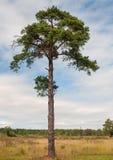 Sörja trädet som bara står allt högväxt upp till himlen arkivbilder