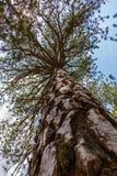 Sörja trädet som beskådas från en låg vinkel av sikten Arkivfoton