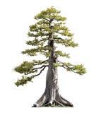 Sörja trädet som isoleras Arkivbild