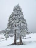 Sörja trädet som täckas i snö Royaltyfria Bilder