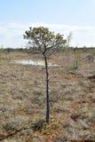Sörja trädet som växer nära vatten i ett träsk Arkivfoto