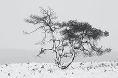 Sörja trädet under det insnöat vintern i Holland Fotografering för Bildbyråer