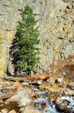 Sörja trädet vid en kanjonvägg och flod Arkivfoton