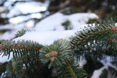 Sörja trädfilialen Royaltyfri Fotografi