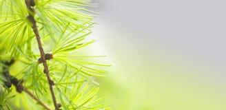 Sörja trädfilialen med grönskavisarnärbild Sikt för makro för skogträd slapp fokus Begrepp för säsong för vårtid kopia Fotografering för Bildbyråer