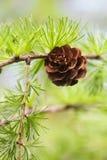 Sörja trädfilialen med sörja-kotten, pinecone Makronatur, grönt energibegrepp mjuk fokus, fält för grunt djup royaltyfri bild