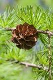 Sörja trädfilialen med sörja-kotten, pinecone Makronatur, grönt energibegrepp Mjuk fokus, grunt djup av fältet Arkivbilder