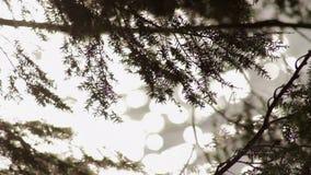 Sörja trädfilialen som blåser i vinden över en nordlig sjö arkivfilmer