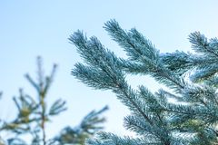 Sörja trädfilialer i vinter Royaltyfri Foto