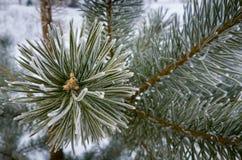 Sörja trädfilialer i vinter Gran med rimfrosten, naturligt träd Arkivfoto