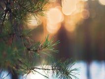 Sörja trädgranfilialen i de vinterForest Colorful Blurred Warm Christmas ljusen i bakgrund Garnering designbegrepp royaltyfria bilder