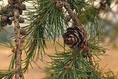 Sörja trädkotteslutet upp det siberian trädet arkivbild