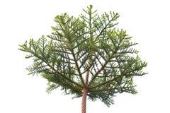 Sörja trädkronan som isoleras på den vita bakgrunden Arkivfoto