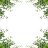 Sörja trädramen med tomt utrymme Jul gränsar med granfilialer som isoleras på vit bakgrund arkivfoto