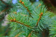 Sörja trädsidor Royaltyfri Fotografi