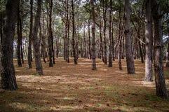 Sörja trädskogen Royaltyfria Bilder