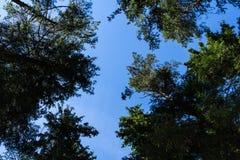 Sörja trädskogen i Augusti in i Lettland, övre sikt för botten royaltyfri fotografi
