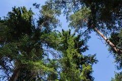 Sörja trädskogen i Augusti in i Lettland, övre sikt för botten arkivfoton