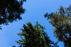 Sörja trädskogen i Augusti in i Lettland, övre sikt för botten royaltyfri foto