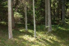 Sörja trädskogen i Augusti in i Lettland arkivfoto