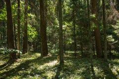 Sörja trädskogen i Augusti in i Lettland arkivfoton