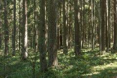 Sörja trädskogen i Augusti in i Lettland royaltyfri bild