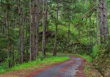 Sörja trädskogen i Dalat, Vietnam Royaltyfria Bilder