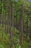 Sörja trädskogen i Dalat, Vietnam Royaltyfri Fotografi