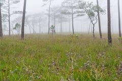 Sörja trädskogen i misten Royaltyfri Fotografi