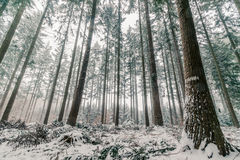 Sörja trädskogen i Skandinavien Royaltyfri Foto