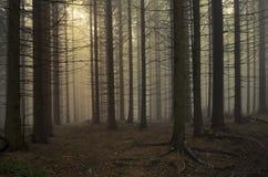 Sörja trädskogen på solnedgången Royaltyfria Foton