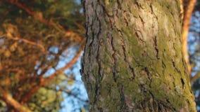 Sörja trädstammen Sörja trädskället closeup Sörja trädet i vårskogmakro stock video