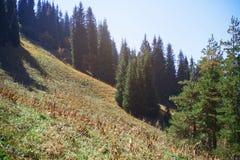 Sörja trän i bergskog royaltyfria bilder