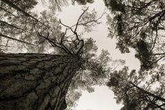Sörja trästammen, filialer och blå himmel på Furulunden Royaltyfri Foto
