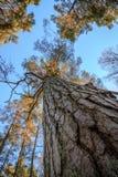 Sörja träträd, stammen, filialer och blå himmel på Furulunden Royaltyfri Bild
