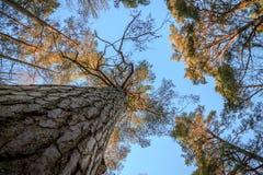 Sörja träträd, stammen, filialer och blå himmel på Furulunden Arkivfoton