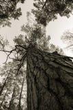 Sörja träträd, stammen, filialer och ljus himmel på Furulunden Royaltyfri Foto