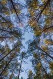 Sörja träträdblast och blå himmel på Furulunden Arkivfoton