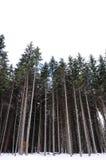 Sörja trees Arkivbilder