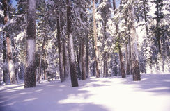 Sörja Trees som räknas i Snow Arkivbilder
