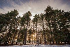 Sörjer den täckande evergreen för vintersnö trädträn Forest Landscape arkivbild