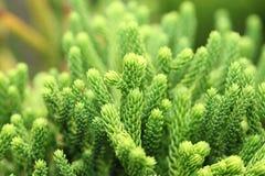sörjer den täta pinaceaen för canariensisen pinustreen upp royaltyfria foton